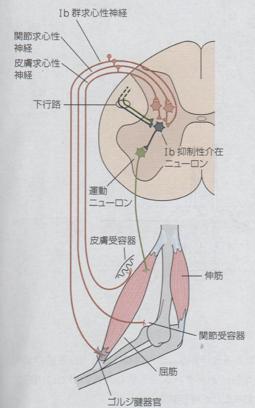 器官 ゴルジ 腱